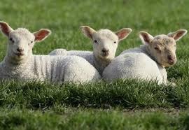 Ovelhas do rebanho de Jesus. 4